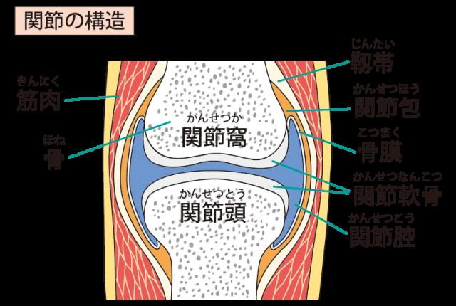関節のイラスト