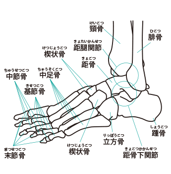 足関節のイラスト
