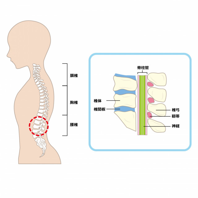 脊柱管のイラスト